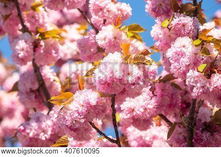 Sakura Festival. Cherry Blossoms Trees. Sakura Spring Flowers Pattern. Cherry Blossoms Trees. Sakura