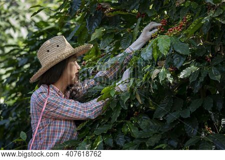 Agriculturist Hands Harvesting Red And Yellow Fresh Ripe Arabica Or Robusta An Organic Coffee Berrie