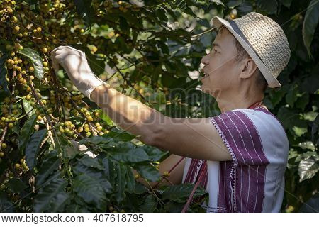 Agriculturist Hands Harvesting Yellow Fresh Ripe Arabica Or Robusta An Organic Coffee Berries Beans.