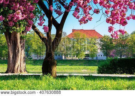 Cherry Blossom By The River. Beautiful Sunny Morning On The Kyiv Embankment In Uzhgorod. Pink Sakura