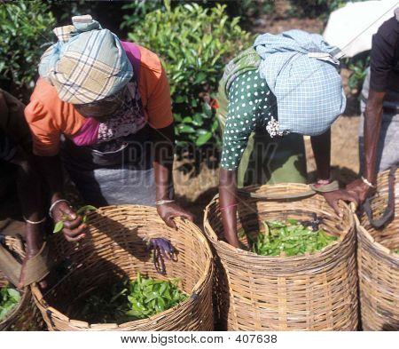 Tea Pickers In Bogawantallowa