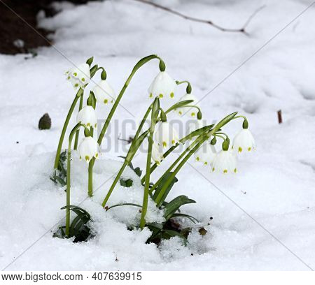 Beautiful White Spring Snowflake (leucojum Vernum) Flowering In The  Snow. One Of The First Flowers