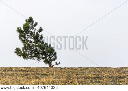 A Lone Pine Tree Grows On Top Of A Mountain. Natural Minimalism In Restrained Shades. Neutral Atmosp