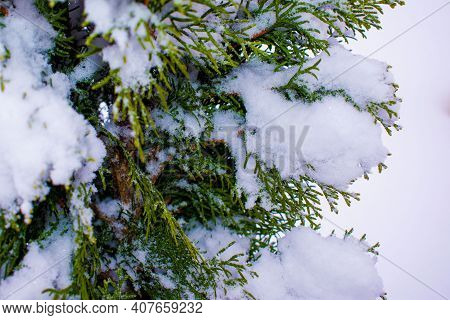 Frozen Leaves Of Evergreen Plants Thuja Occidentalis. Frosty Thuja, Christmas Tree Background. High