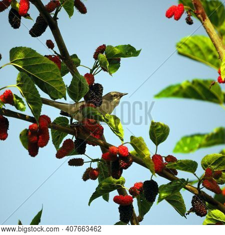 A Small Gray Bird Sits On A Mulberry Branch. The Bird Has Hidden Behind Leaves And Sweet Berries And