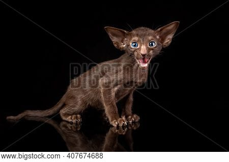 Little Kitten Of Oriental Cat Breed Of Solid Chocolate Brown Color With Blue Eyes Is Sitting Against