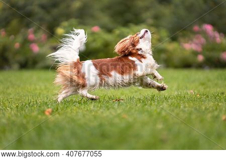 Young Cavalier King Charles Spaniel Dog Funny Jumping On Green Grass At Nature.