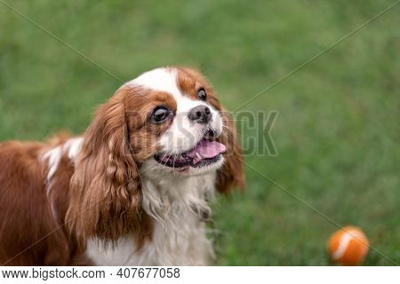Portrait Of Young Cavalier King Charles Spaniel With Ball At Nature