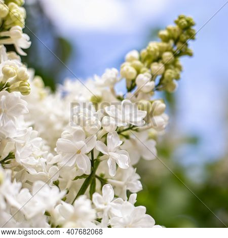 White Lilac. Spring Blooming Flowers Of White Lilac On Lilac Bushes Against Blue Sky. Natural White