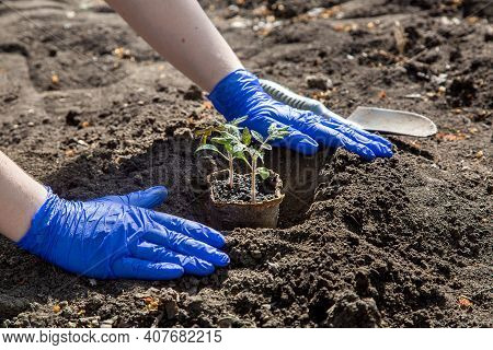Process Of Planting A Plant In The Soil For Growing Vegetables, A Gloved Hands Bury A Hole With Eco