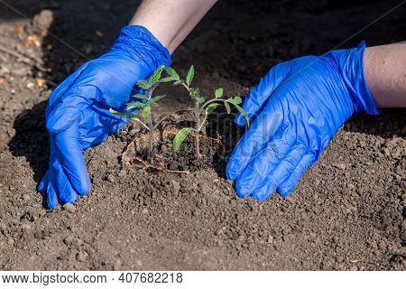Process Of Planting A Plant In The Soil For Grow Vegetables, A Gloved Hands Bury A Hole With Eco Pot