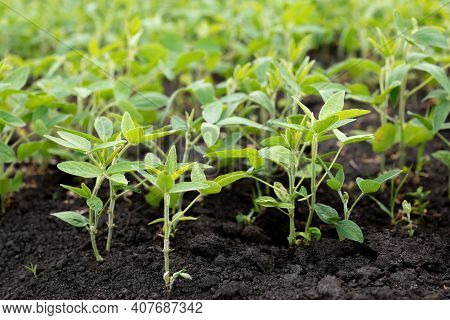 Beds Of Young Soybeans On Black Soil. Soybeans Grow In Experimental Fields