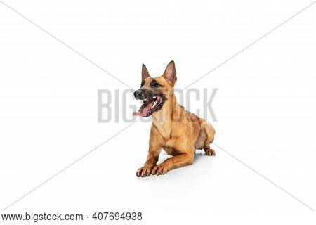 Jumping. Young Belgian Shepherd Malinois Is Posing. Cute Doggy Or Pet Is Playing, Running And Lookin