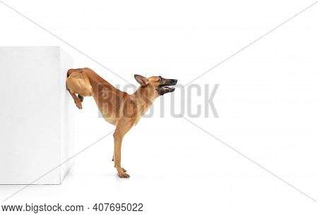 On Hands. Young Belgian Shepherd Malinois Is Posing. Cute Doggy Or Pet Is Playing, Running And Looki