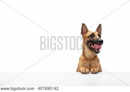 Hello. Young Belgian Shepherd Malinois Is Posing. Cute Doggy Or Pet Is Playing, Running And Looking