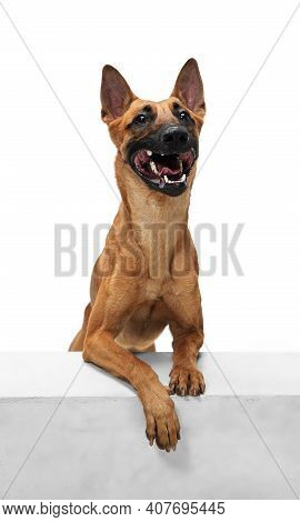 Kindly. Young Belgian Shepherd Malinois Is Posing. Cute Doggy Or Pet Is Playing, Running And Looking