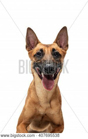 Smiley. Young Belgian Shepherd Malinois Is Posing. Cute Doggy Or Pet Is Playing, Running And Looking