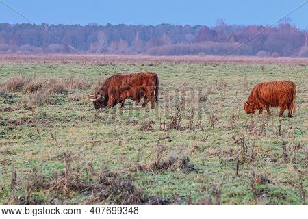 Dutch Countryside With Highland Cows Grazing On Green Pastures, Heather With Trees In The Background