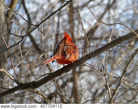 Red Male Cardinal Bird Sitting On The Branch
