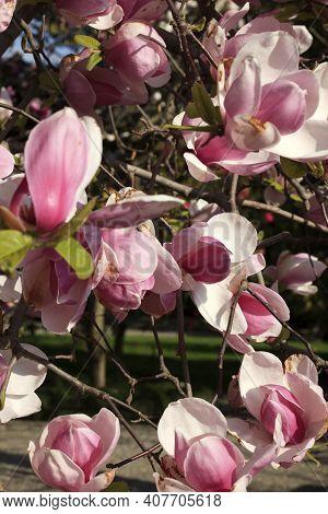 Stresa ( Verbano-cusio-ossola ), Italy - June 15, 2017: Magnolia Flowers, Isola Bella, Maggiore Lake