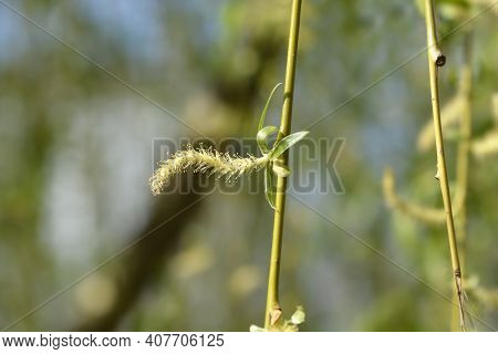 Golden Weeping Willow Flower - Latin Name - Salix Alba Subsp. Vitellina Pendula