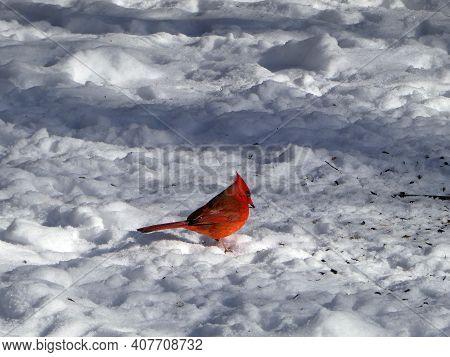 Red Male Cardinal Bird Sitting On Snow