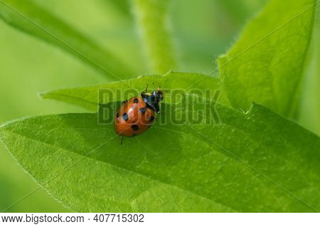 Lonely Ladybird Sitting On The Edge Of Leaf In Green Jungle At Spring Season