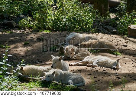 Wolf pack of big and white Hudson Bay Wolf, lives in the Arctic and at the northwestern coast of Hud