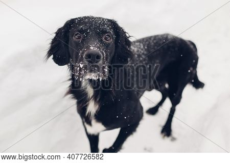 Black Dog Walking Outdoors On Snow After Blizzard. Pet Has Snow On Its Face And Fur. Animal Looking