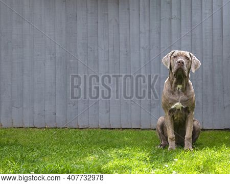 Large Magnificent Dog With Big Eyes And A Liver Coloured Coat Sat Obediently , Selective Focus Plain