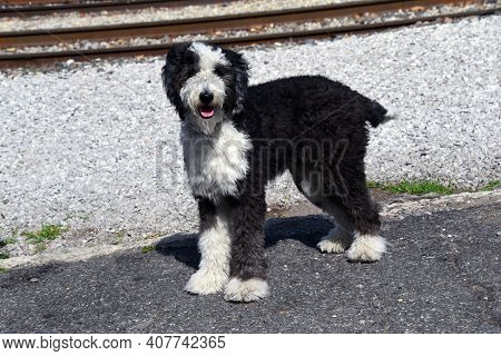 Adorable Dog, In His Excitement To Meet Someone New, Lifts It\'s Paw And Pants.  Dog Has Curly, Heav