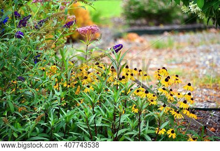 Black Eyed Susans Border Garden