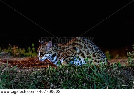 Beautiful, Leopard Cat (prionailurus Bengalensis) Male In The Nature, Thailand
