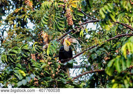 Wreathed Hornbill (rhyticeros Undulatus) Perching On Tree In Khao Yai National Park, Thailand