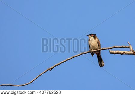 Close Up Red-whiskered Bulbul Or Crested Bulbul Was Perched On Branch Isolated On Blue Sky