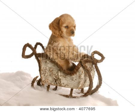 cocker spaniel puppy sitting in winter sleigh isolated on white background poster