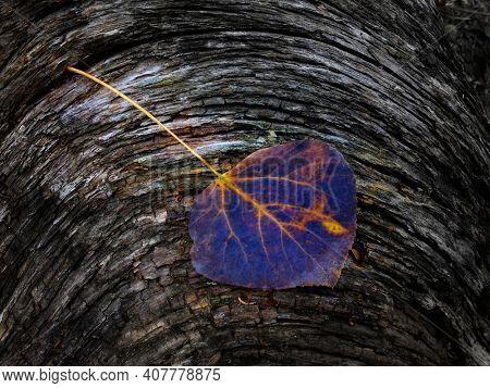Detail of fallen aspen leaf on old wooden stump or log texture