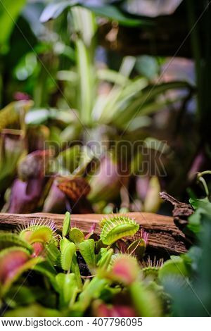 Floriana with venus flytrap and carnivorous plants