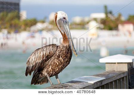 Clearwater Beach Florida Pelican