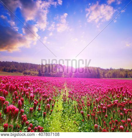 Field of flowering crimson clovers (Trifolium incarnatum). Spring rural landscape at sunset. Beauty in nature.