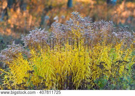 Goldenrod Plant In The Autumn Season. Vegetable, Autumn Background.