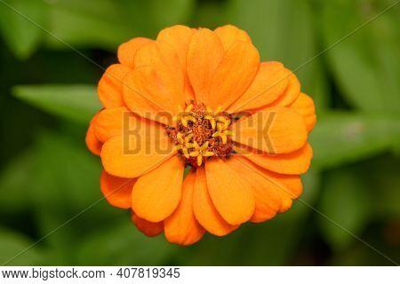 Bright Orange Zinnia Flower In The Garden, Top View . Macro Horizontal Photo