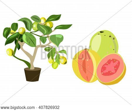 Guava Is A Tropical Plant With Fruits. On A White Background