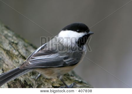 Black-capped Chickadee Bird Perched On A Branch.