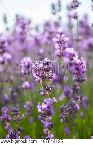 Lavender Bushes Closeup On Sunset.. Field Of Lavender, Lavender Officinalis. Lavender Flower Field,