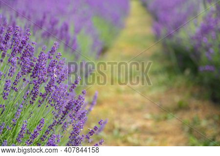 Lavender Field In Sunlight. Field Of Lavender, Lavender Officinalis. Beautiful Image Of Lavender Fie