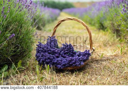 Wicker Basket Of Freshly Cut Lavender Flowers A Field Of Lavender Bushes. The Concept Of Spa, Aromat
