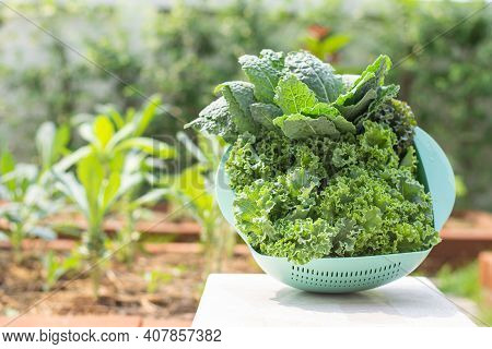 Curl Leaf Kale And Dinosaur Kale Or Brassica Oleracea Grown In The Basket Background Blurry Tree In