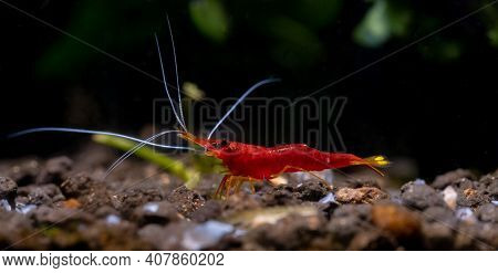 Yellow Nose Sulawesi Red Dwarf Shrimp Look For Food In Aquatic Soil With Dark Background In Freshwat