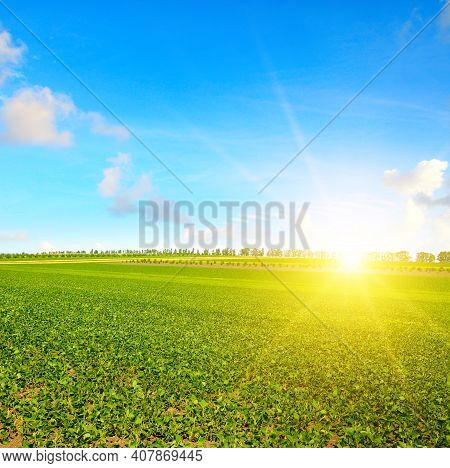 Large Field Of Soybeans With Beautiful Sky In Background